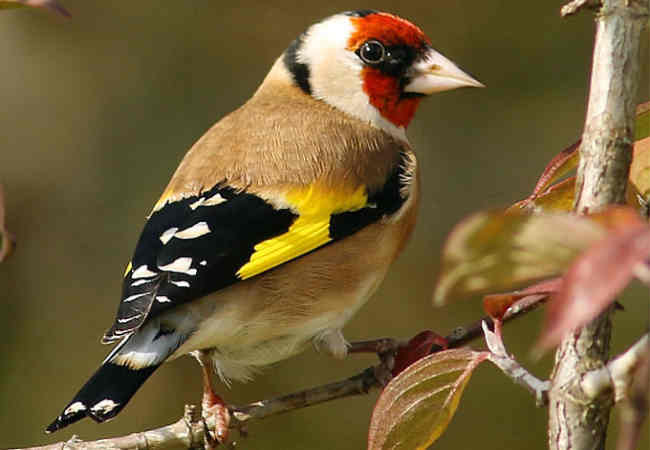 Dikkat stieglitz saka kuşunun okunmasi gereken haberler