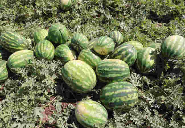 Dünyanin bir numarali meshur karpuzunun Diyarbakir'da hasat zamani